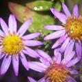秋雨の雫4