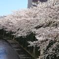 満開の桜咲く神田川