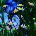 Photos: 紫苑の花