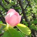 Photos: カリンの花咲けば