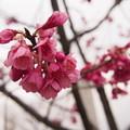 写真: 曇り桜