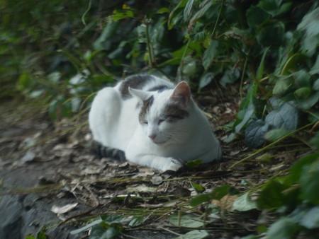 江の島の猫2