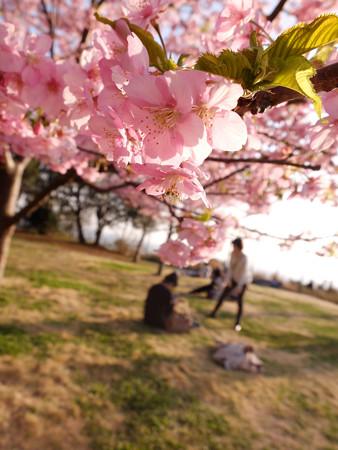 河津桜2_astia