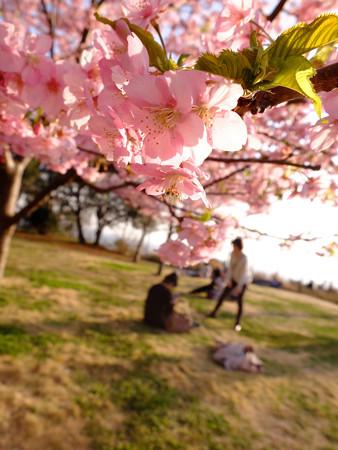 河津桜2_velvia