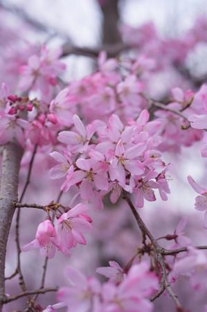 桜_std