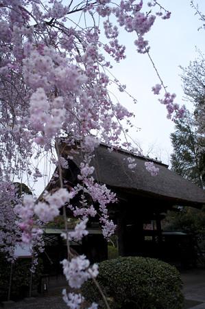 海岸寺の桜