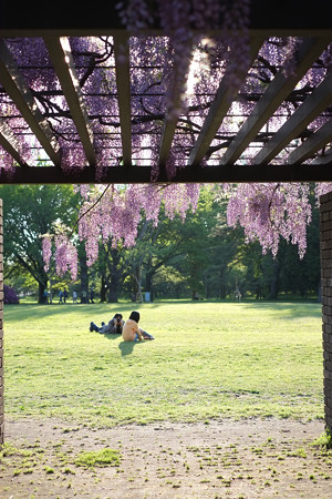 小金井公園の藤1