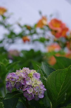 紫陽花とノウゼンカズラ