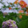 Photos: 紫陽花とノウゼンカズラ
