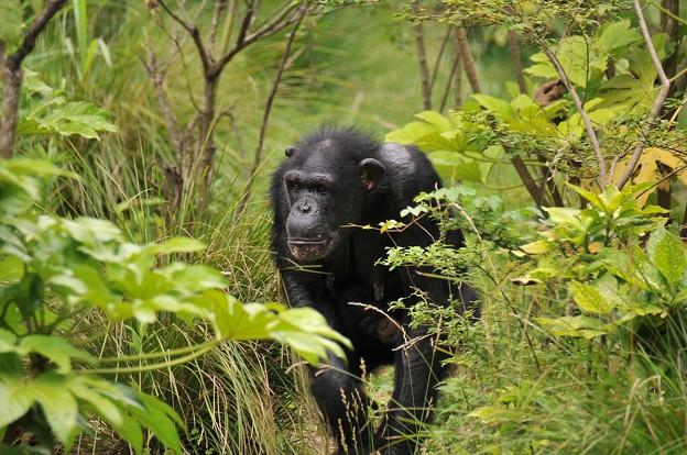 まるでアフリカの熱帯雨林へ来た感じチンパンジー親子 ...