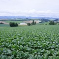 Photos: HDR 三愛の丘から見る収穫前の広大な畑・・