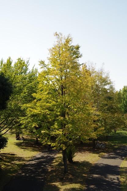 昭和記念公園のイチョウも色づき始め・・20121020