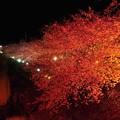夜桜の河津桜・・20130302