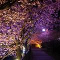 夜桜の河津桜並木のトンネル・・20130302