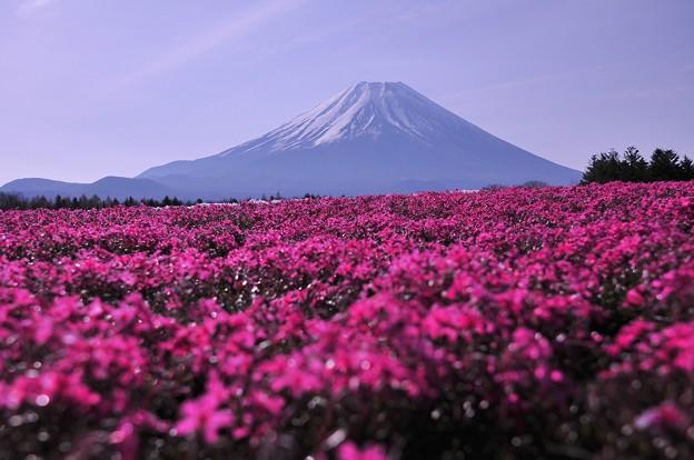 紅白の紅組・・朝露芝桜と富士山・・20130429