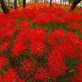 魚眼の世界でみる満開に咲く巾着田の曼珠沙華・・20130923