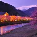 夕暮れの河津町のライトアップと河津桜