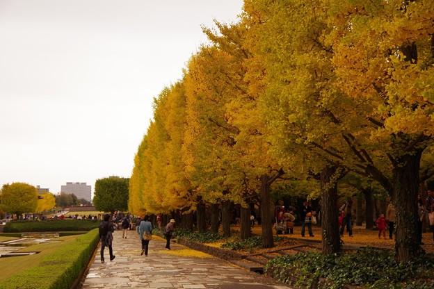 カナール噴水のイチョウの木・・昭和記念公園20131109