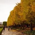 写真: カナール噴水のイチョウの木・・昭和記念公園20131109