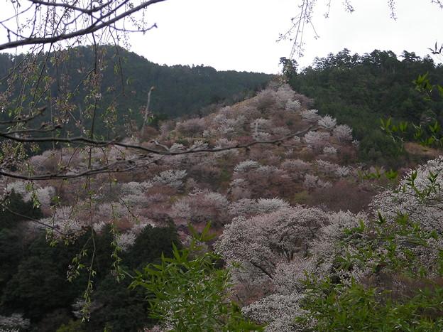 吉野の千本桜を見に奈良へと...