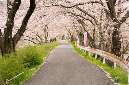 玉川の桜・1