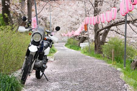 玉川の桜・5