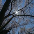 佛隆寺の桜・2013-5