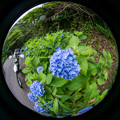 Photos: 月ヶ瀬の紫陽花・4