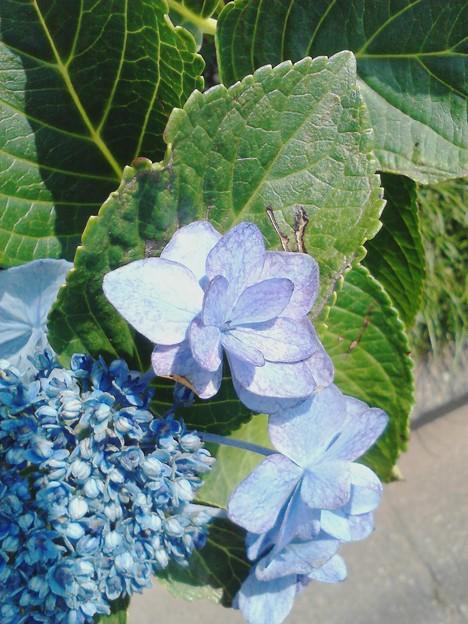 炎天下の紫陽花