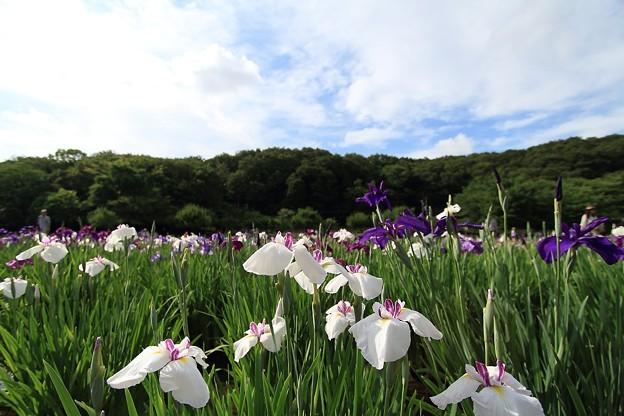 写真: 花菖蒲(3)~花から目線~