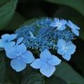 額紫陽花・・・鮮やかな青に色付いて