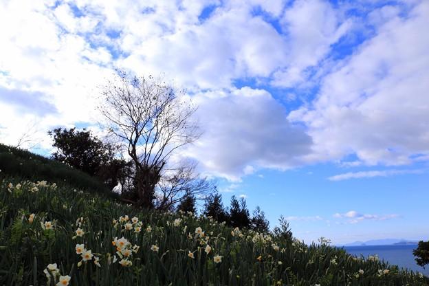 水仙の咲く丘。