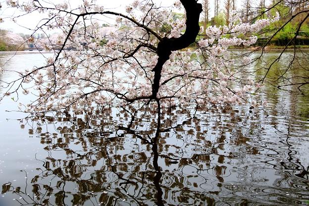 静かに浸る桜