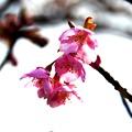 Cherryblossom type Kawazu