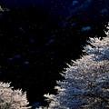 Photos: 蛍桜