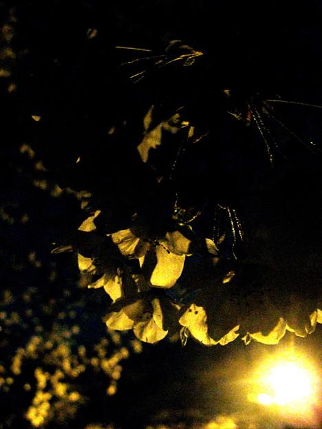 Photos: 夜光桜