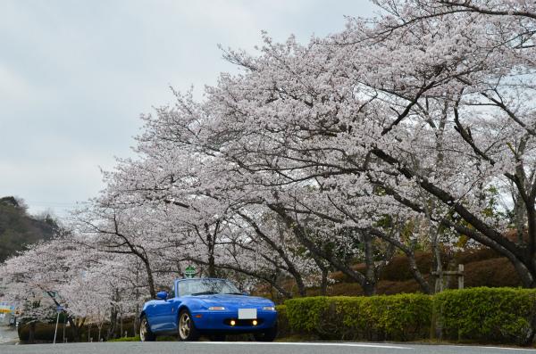 こちらでは満開の桜が出迎えてくれた。