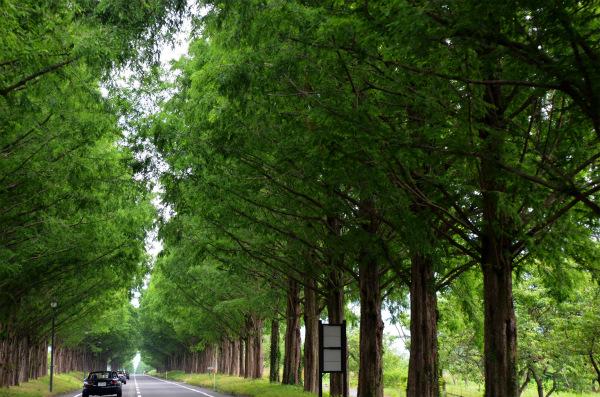 約2年ぶりのメタセコイア並木道