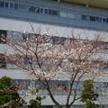 横須賀_県立福祉大学(ハロワ側)_桜_2_20130321