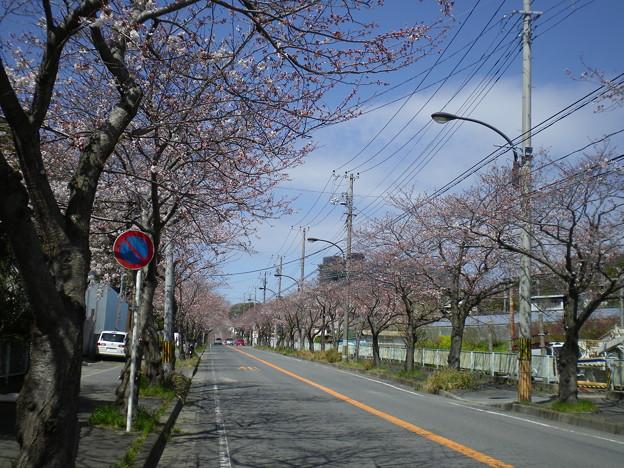 横須賀_野比_通研通り_桜状況20130321_02