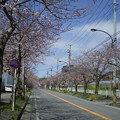 Photos: 横須賀_野比_通研通り_桜状況20130321_02