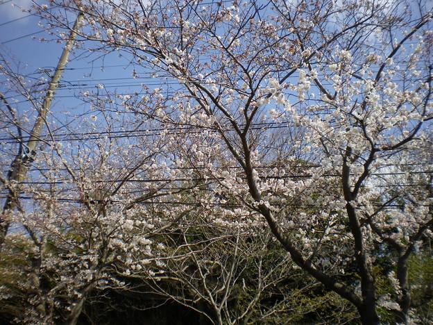横須賀_野比_通研通り_桜状況20130322_03