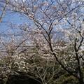 Photos: 横須賀_野比_通研通り_桜状況20130322_03