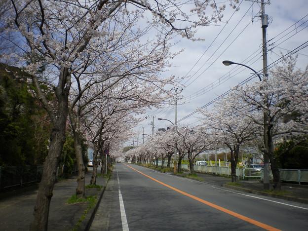 横須賀_野比_通研通り_桜状況20130326_02