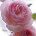 阿蘇の薔薇♪