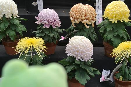 きれいな菊