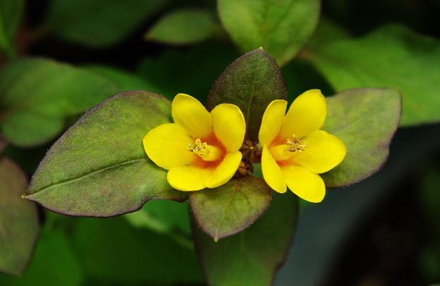 リシマキアの双子花