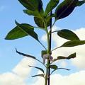 Photos: 2012*8*2嵐學ひまわり♪ 青空に向かって。