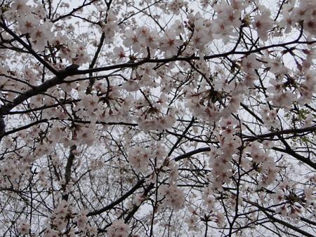桜ジャスト満開なう