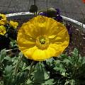 写真: 黄色いポピー